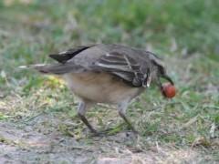 Calandria grandeD/Chalk-browed MockingbirdD