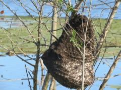Camuatí/Camuatí wasp nest