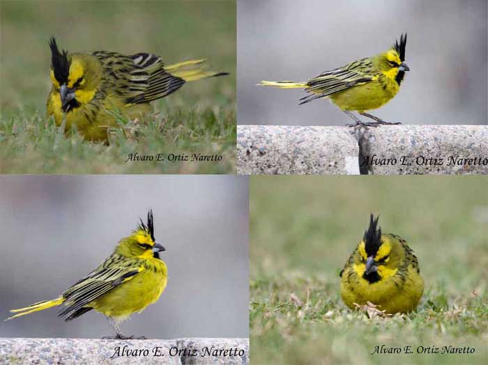 cardenal-amarilloM-AON-7-13