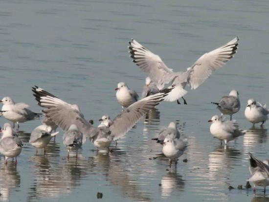 Gaviotas gris café/Brown and Grey-hooded Gulls