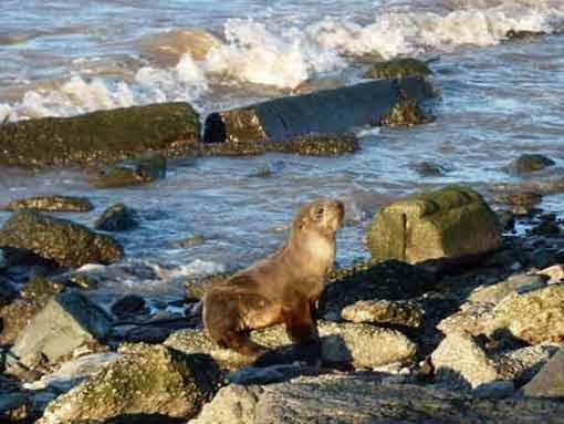 Lobo marino de dos pelos/South american Fur Seal