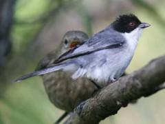 Monterita cabeza negraP/Black-capped Warbling-FinchP