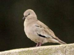 Torcacita común/Picui Ground Dove