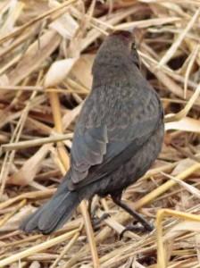 Varillero congoJ/Chestnut-capped BlackbirdJ