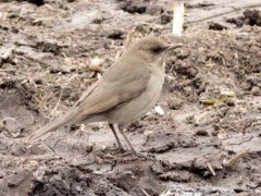 Zorzal chalchaleroCreamy-bellied Thrush