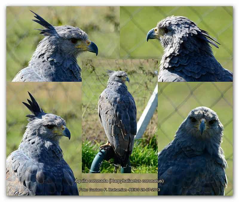 águila-coronada-GFB-7-13