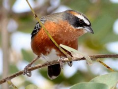 Sietevestidos común/Black-and-rufous Warbling-Finch