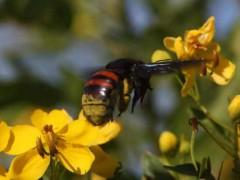 abeja-carpinteraH-RA