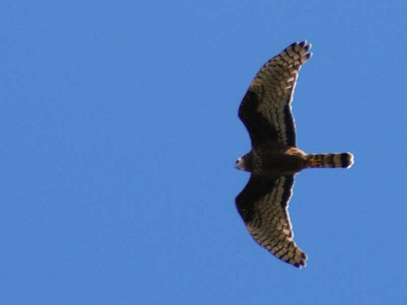Gavilán planeadorFO/Long-winged Harrier DM