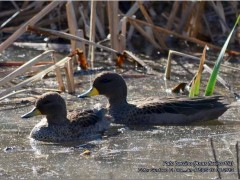 Pato barcino/Yellow-billed Teal