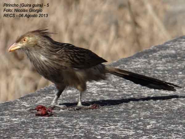 Pirincho/Guira cuckoo