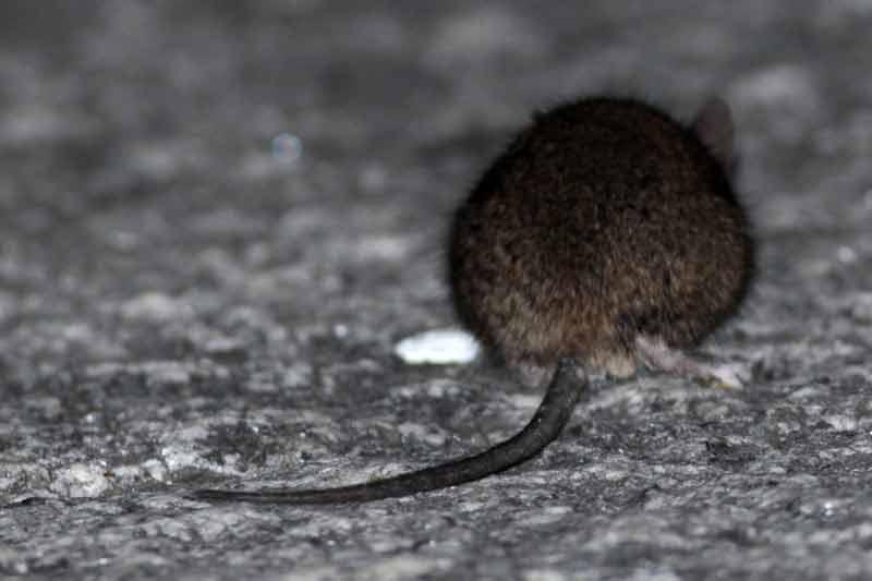 ratón-casero1-JST-7-13