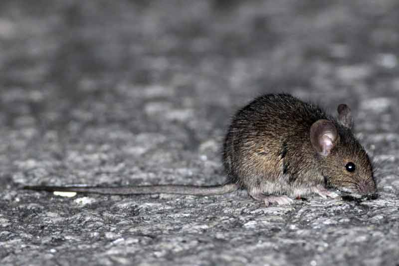 ratón-casero2-JST-7-13