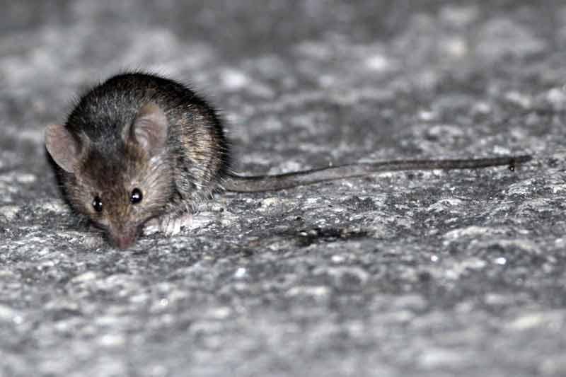 ratón-casero3-JST-7-13