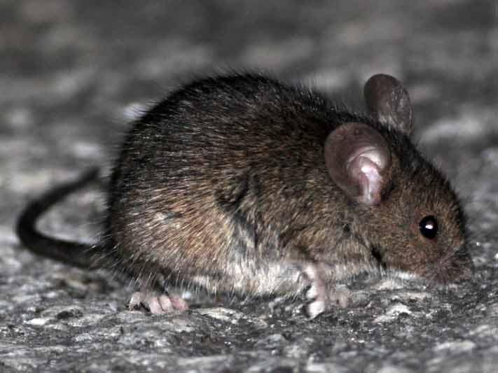ratón-casero4-JST-7-13
