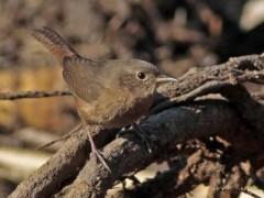Ratona común/House Wren