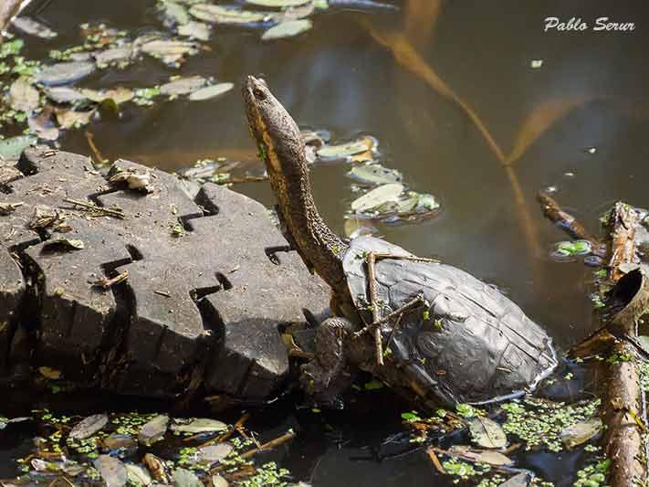 Tortuga cuello de serpiente/Snake-necked Turtle
