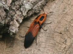 Hemirriphus apicalis