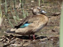Pato cutiríH/Brazilian DuckF
