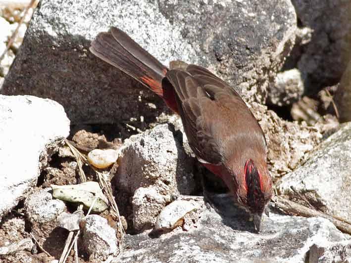 Brasita de fuegoM/Red-crested FinchM
