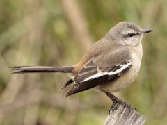 Calandria real/White-winged Mockingbird