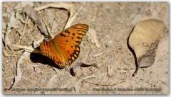 Espejitos/Gulf Fritillary