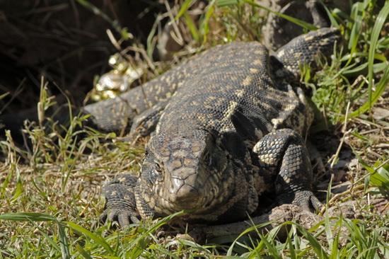 Lagarto overo/White-and-black Tegu Lizard