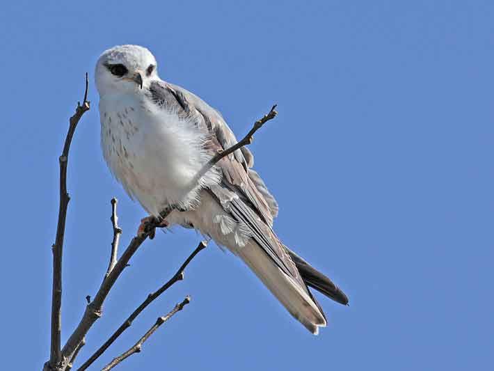 Milano blancoJ/White-tailed KiteJ