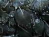 Pulgón negro de las habas/ Black bean aphid