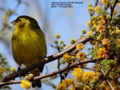 Jilguero doradoM/Saffron FinchM