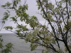 Acacia blanca/Black Locust