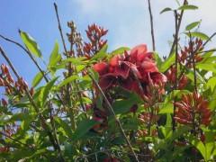 Ceibo/Cock spur tree