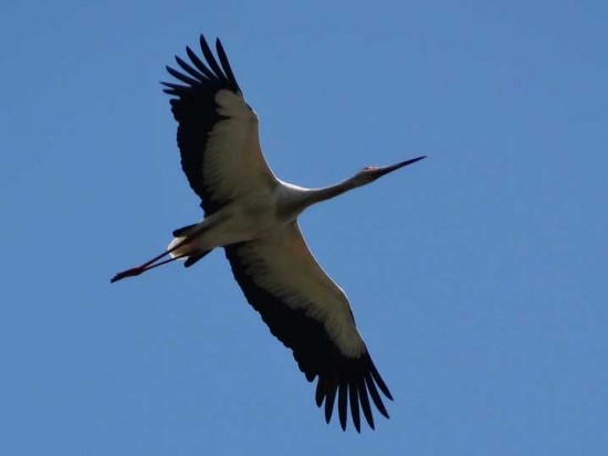 Ciguëña americana/Maguari Stork