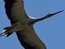 104 Cigüeña americana (IV)