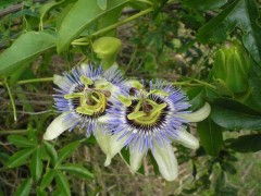 Mburucuyá/Passion flower