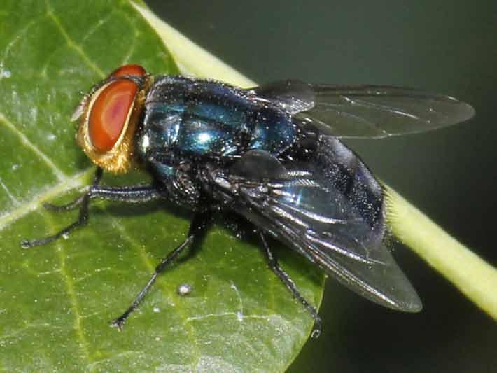mosca azul calliphora vicina reserva ecol gica costanera sur