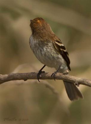 Mosqueta estriada/Bran-colored Flycatcher