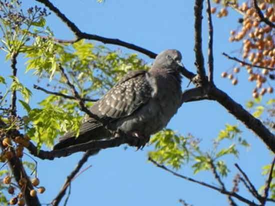 Paloma/manchada/Spot-spotted Pigeon