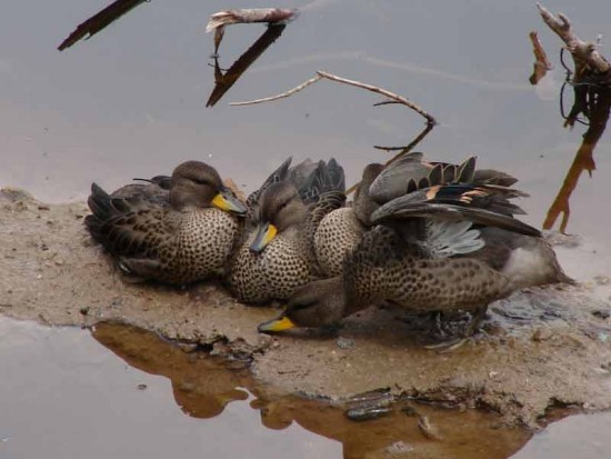 Pato barcino/Yelow-billed Teal