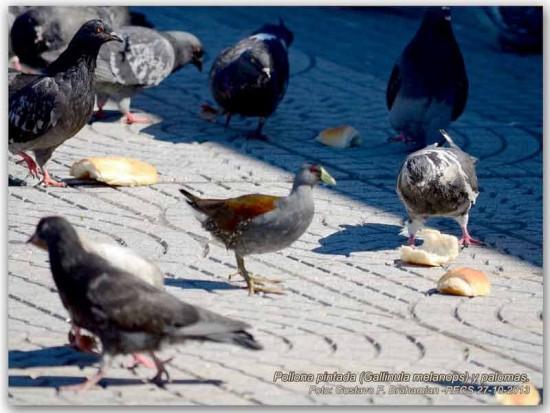 Pollona pintada/Spot/flanked Gallinule