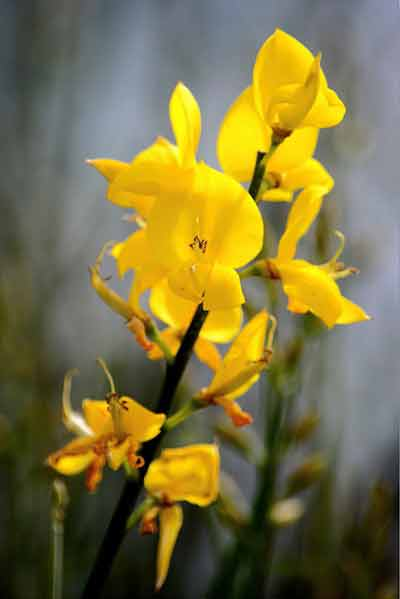 Retama de olor/Spanish broom