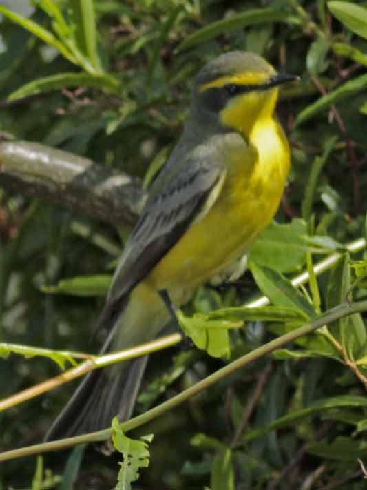 Suirirí amarillo/Yellow-browed Tyrant
