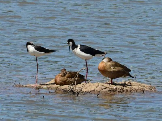 Tero real/Black-necked Stilt