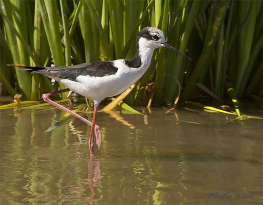 Tero real/Balck-necked Stilt