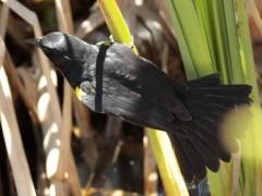 Varillero ala amarillaM/Yellow-winged BalckbirdM
