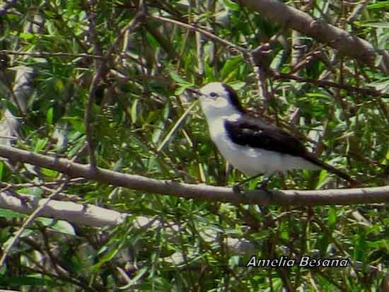 Viudita blanca/Black-backed Water-Tyrant