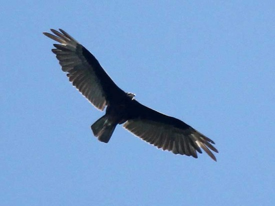 Jote cabeza amarilla/Lesser Yellow-headed Vulture