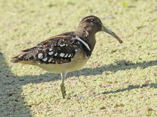 Aguatero/South American Painted-Snipe