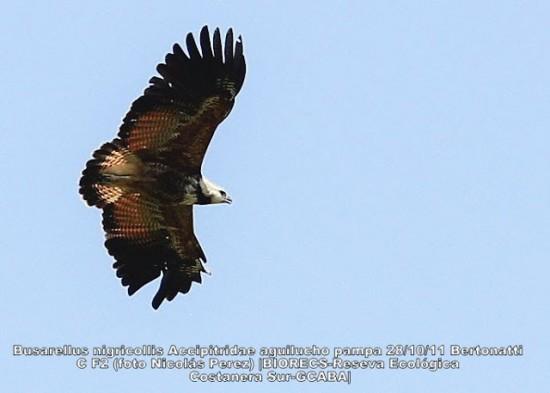 Aguilucho pampa/Black-collared Hawk