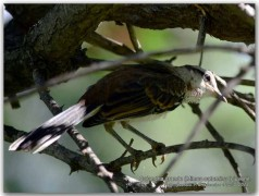 Calandira grande/Chalk-browed Mockingbird